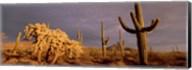 Low angle view of Saguaro cacti on a landscape, Organ Pipe Cactus National Monument, Arizona, USA Fine-Art Print