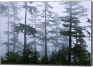 Silhouette of trees with fog, Douglas Fir, Hemlock Tree, Olympic Mountains, Olympic National Park, Washington State, USA Fine-Art Print
