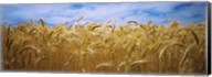 Wheat crop growing in a field, Palouse Country, Washington State Fine-Art Print