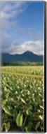 Taro crop in a field, Hanalei Valley, Kauai, Hawaii, USA Fine-Art Print