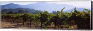 Grape vines in a vineyard, Napa Valley, Napa County, California, USA Fine-Art Print