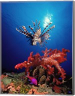 Lionfish (Pteropterus radiata) and Squarespot anthias (Pseudanthias pleurotaenia) with soft corals in the ocean Fine-Art Print