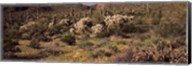 Saguaro cacti (Carnegiea gigantea) on a landscape, Organ Pipe Cactus National Monument, Arizona, USA Fine-Art Print