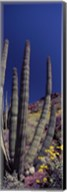 Close up of Organ Pipe cactus, Arizona Fine-Art Print