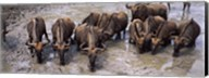 Herd of Blue wildebeests (Connochaetes taurinus) at a waterhole, Mkuze Game Reserve, Kwazulu-Natal, South Africa Fine-Art Print