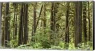 Trees in a forest, Quinault Rainforest, Olympic National Park, Washington State Fine-Art Print