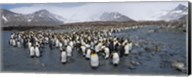 King penguins colony, St Andrews Bay, South Georgia Island Fine-Art Print