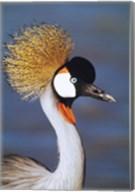 Crowned Crane Tanzania Africa Fine-Art Print