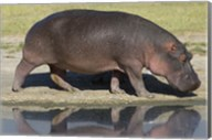 Side profile of a hippopotamus walking, Ngorongoro Crater, Ngorongoro Conservation Area, Tanzania (Hippopotamus amphibius) Fine-Art Print