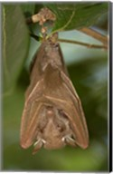 Close-up of a bat hanging from a branch, Lake Manyara, Arusha Region, Tanzania Fine-Art Print