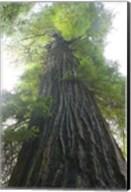 Low-Angle View Of Redwood Tree Fine-Art Print