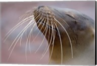 Close-up of a Galapagos Sea Lion, Galapagos Islands, Ecuador Fine-Art Print
