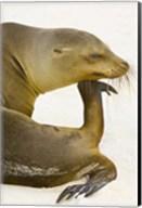 Galapagos Sea Lion (Zalophus wollebaeki), Galapagos Islands, Ecuador Fine-Art Print