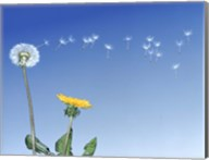Dandelion (Taraxacum officinale) seeds blowing in the air Fine-Art Print