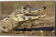 Yacare caiman (Caiman crocodilus yacare), Three Brothers River, Meeting of the Waters State Park, Pantanal Wetlands, Brazil Fine-Art Print