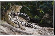 Jaguar (Panthera onca) snarling, Three Brothers River, Meeting of the Waters State Park, Pantanal Wetlands, Brazil Fine-Art Print