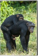 Female chimpanzee (Pan troglodytes) carrying its young one on back, Kibale National Park, Uganda Fine-Art Print