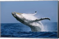 Humpback whale (Megaptera novaeangliae) breaching in the sea Fine-Art Print