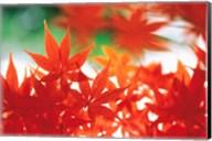 Red Maple Leaves Fine-Art Print