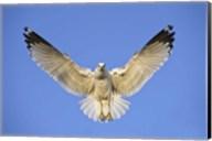 Ring Billed Gull (Larus delawarensis) in flight, California, USA Fine-Art Print