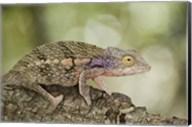 Close-up of a chameleon on a branch, Madagascar Fine-Art Print