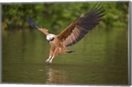 Black-Collared hawk pouncing over water, Three Brothers River, Meeting of Waters State Park, Pantanal Wetlands, Brazil Fine-Art Print