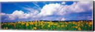 Fields of sunflowers Rudesheim vicinity Germany Fine-Art Print
