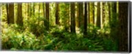 Ferns and Redwood trees in a forest, Redwood National Park, California, USA Fine-Art Print
