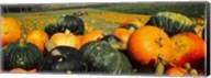 Pumpkin Field, Half Moon Bay, California Fine-Art Print