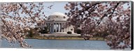 Cherry Blossom trees in the Tidal Basin with the Jefferson Memorial in the background, Washington DC Fine-Art Print