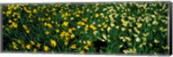 Daffodils in Green Park, City of Westminster, London, England Fine-Art Print