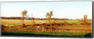 Amish farmer plowing a field, USA Fine-Art Print