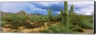 Saguaro cactus (Carnegiea gigantea) in a desert, Saguaro National Park, Arizona Fine-Art Print