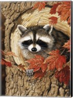 Raccoon Fine-Art Print