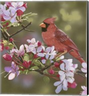 Cardinal with Apple Blossoms Fine-Art Print
