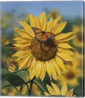 Sunflower/Butterflies Fine-Art Print
