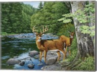 Streamside - White Tail Deer Fine-Art Print
