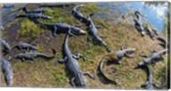 Alligators along the Anhinga Trail, Everglades National Park, Florida, USA Fine-Art Print