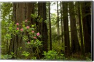 Redwood trees and rhododendron flowers in a forest, Del Norte Coast Redwoods State Park, Del Norte County, California, USA Fine-Art Print