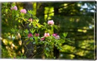 Rhododendron flowers in a forest, Del Norte Coast Redwoods State Park, Del Norte County, California, USA Fine-Art Print