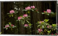 Rhododendron Flowers and Redwood Trees in a Forest, Del Norte Coast Redwoods State Park, Del Norte County, California, USA Fine-Art Print