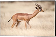 Male gerenuk (Litocranius walleri) standing in field, Samburu National Park, Rift Valley Province, Kenya Fine-Art Print
