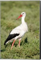 White stork (Ciconia ciconia) in a field, Ngorongoro Crater, Ngorongoro, Tanzania Fine-Art Print