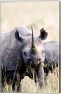 Black rhinoceros (Diceros bicornis) standing in a field, Masai Mara National Reserve, Kenya Fine-Art Print