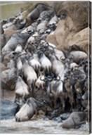 Herd of wildebeests crossing a river, Mara River, Masai Mara National Reserve, Kenya Fine-Art Print