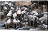 Wildebeests, Masai Mara National Reserve, Kenya Fine-Art Print