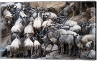 Wildebeests, Masai Mara National Reserve, Kenya Fine-Art Print
