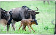 Newborn Wildebeest Calf with its Parents, Ndutu, Ngorongoro, Tanzania Fine-Art Print