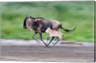 Newborn wildebeest calf running with its mother, Ndutu, Ngorongoro, Tanzania Fine-Art Print