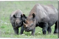 Black rhinoceros (Diceros bicornis) in a field, Ngorongoro Crater, Ngorongoro, Tanzania Fine-Art Print